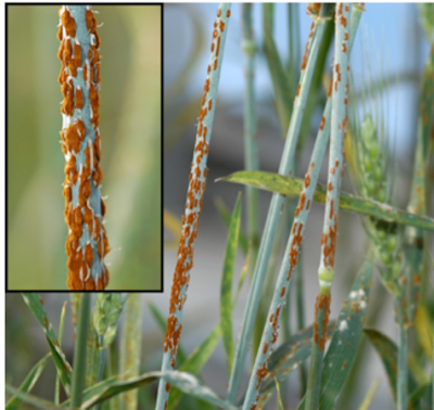 What is UG99 Wheat Rust?