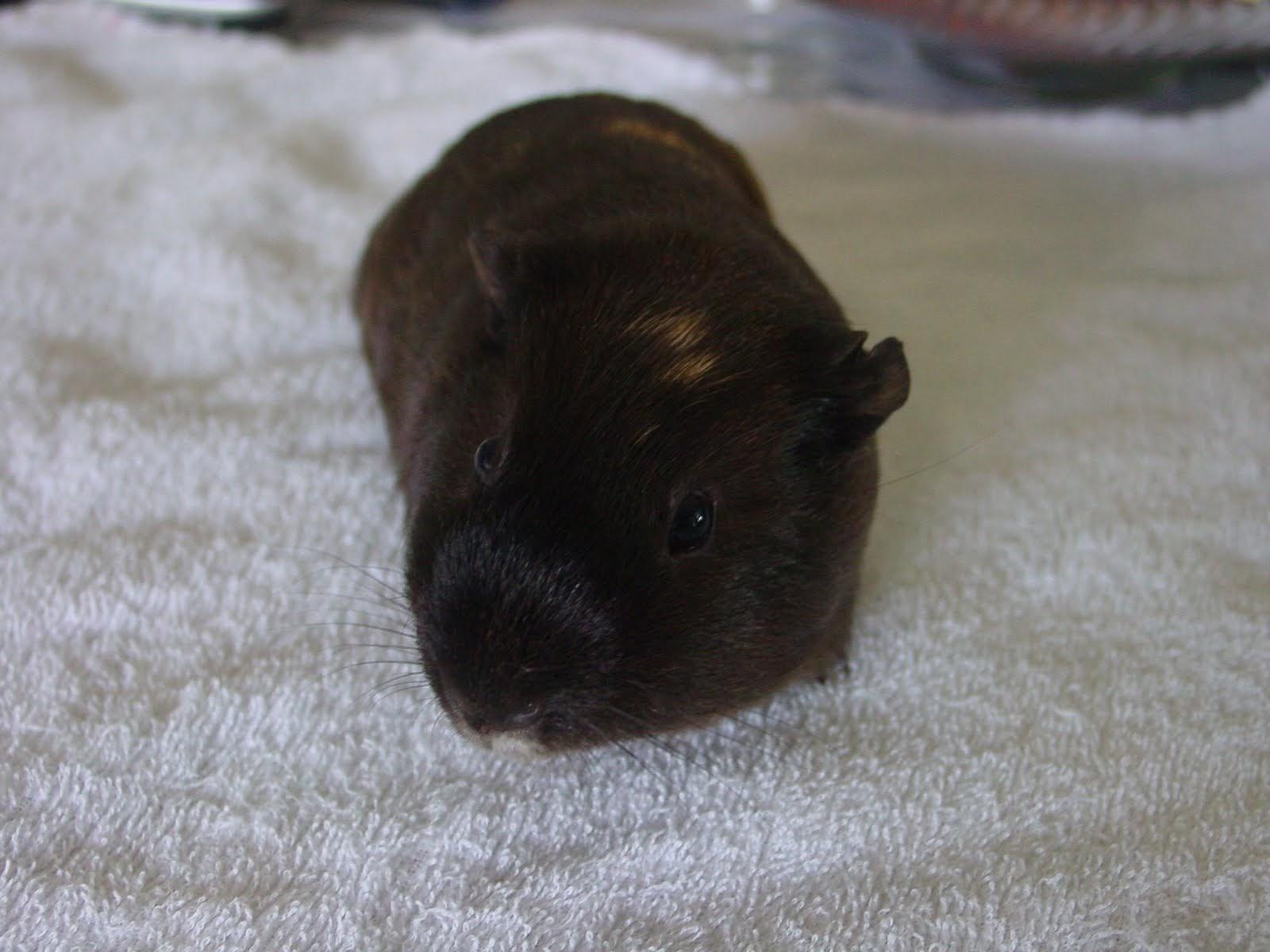"My guinea pig ""Cheryl"""