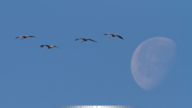 Cranes flying at the moon
