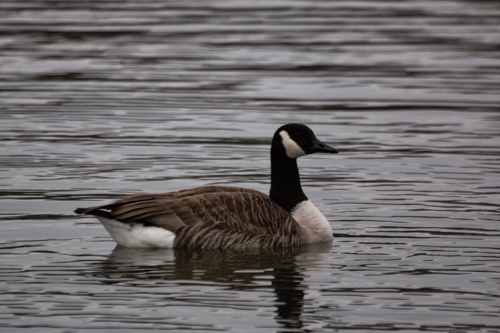 Canada Goose womens outlet authentic - Chloe's Birding Blog: January 2015