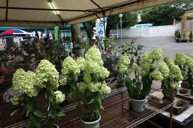 Hydrangea Ajisai Festival Toshimaen