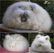 Rabbit jersey wooly or commonly called the angora rabbit fur that has the .