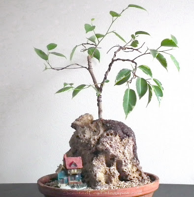 Ficus benjamina variegated on rock