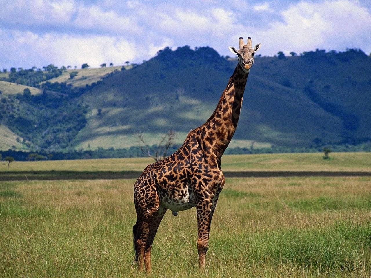 picture of a giraffe