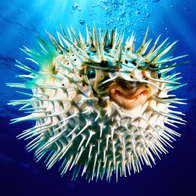 Picturefish on Puffer Fish Care Has To Be Properly Maintained By The Pet Owners Who
