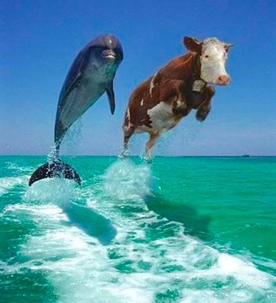 Fish and Cow Competition
