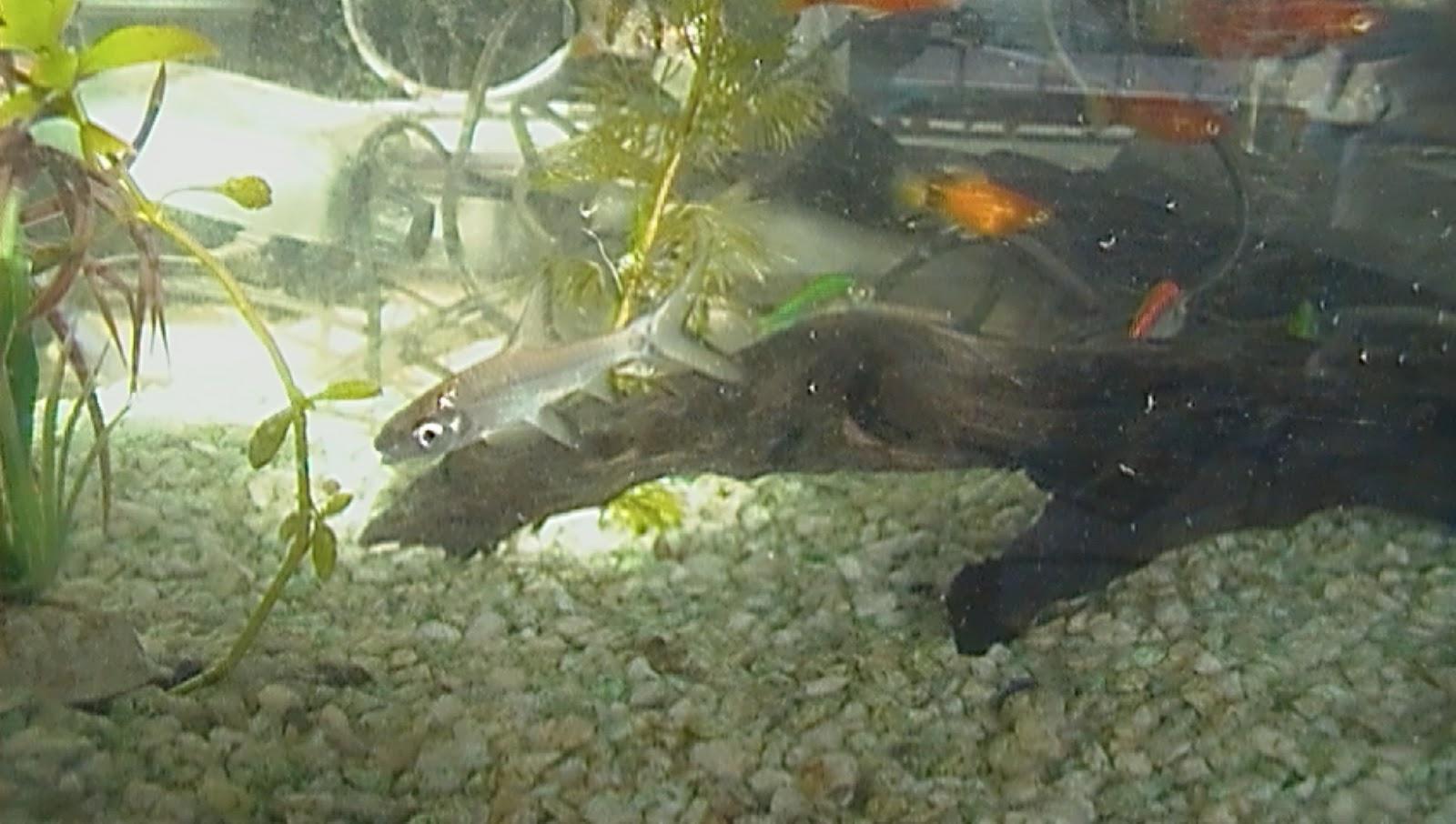 Venta de accesorios para acuarios y peces de agua dulce for Peces para acuario