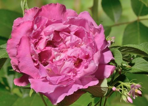 Romantic Roadrunner rose сорт розы фото
