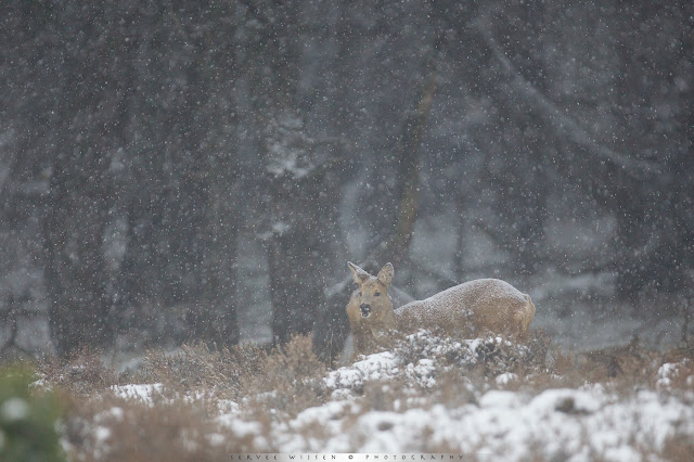 Reeën in sneeuwbui - Roe Deer in Snow Blizzard