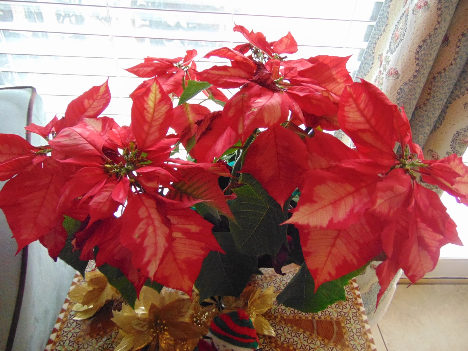 ducks in my pool and other stories meaning of poinsettias
