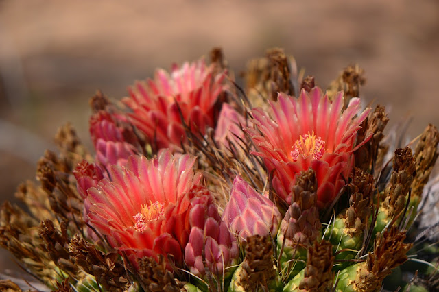 amy myers photography, desert, ferocactus, cactus flower, sonoran