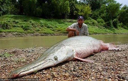 Ikan Raksasa Berwajah Buaya Ditemukan Di Meksiko