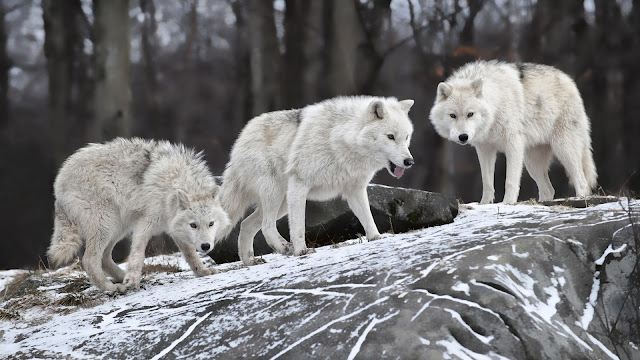 Hungry Winter Wolves