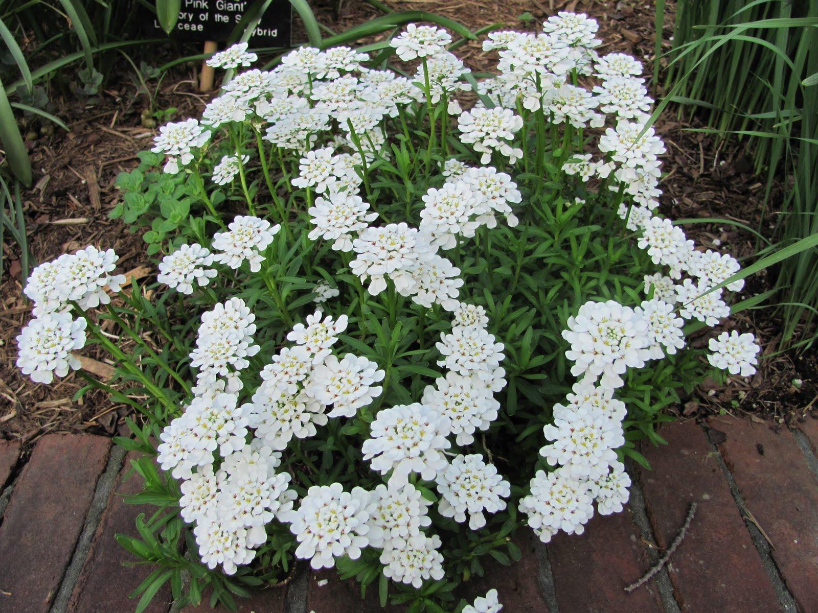 Planted cloud iberis sempervirens for Iberis sempervirens