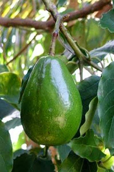 Nama latin alpukat adalah Persea americana.