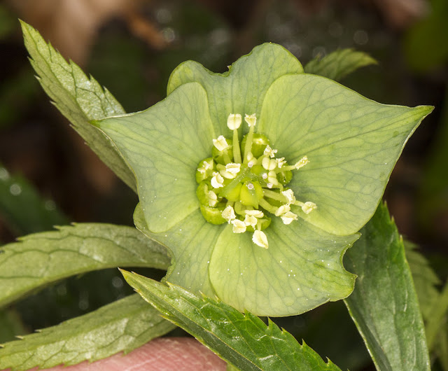 Green Hellebore, Helleborus viridis.  Cuckoo Wood, High Elms, 21 April 2013.