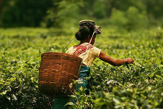 A teaworker plucking tea leaves in a tea garden of Assam