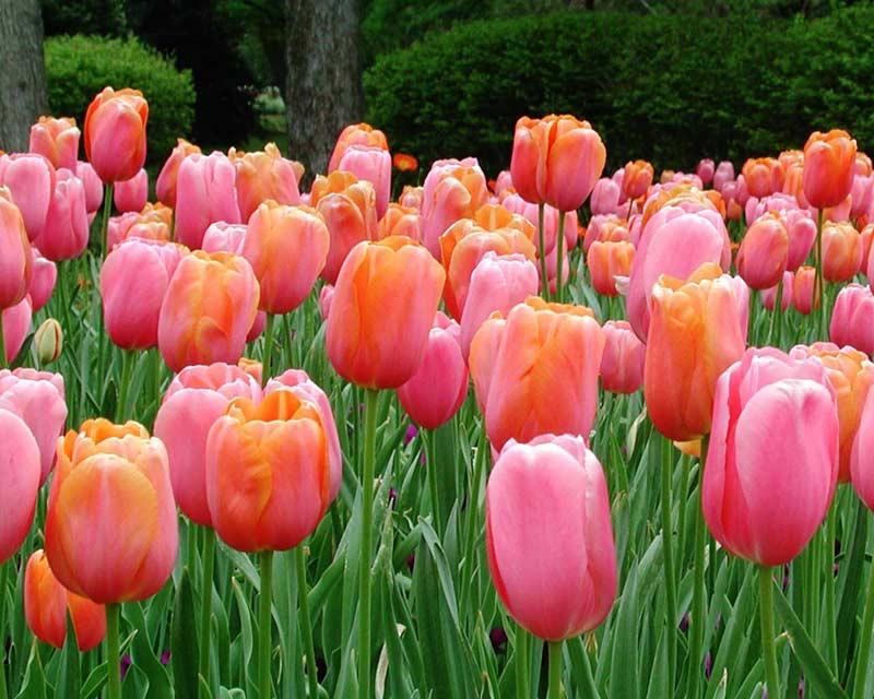 Tulips Tulips Desktop Wallpapers Beautiful Roses