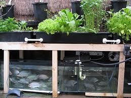 Redhead tilapia farm organic gardening in your own backyard for Hydroponic fish tank diy
