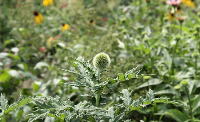 Globe Thistle Flowers Pictures