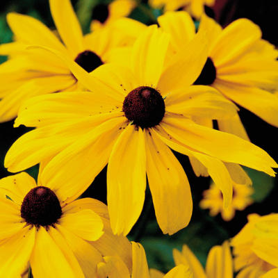 Black Eyed Susan Flower Flowers World
