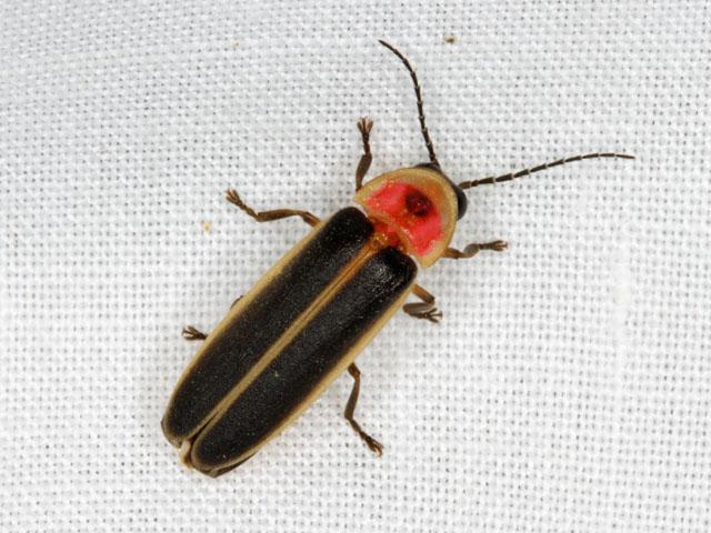 Lightning bug - photo#9