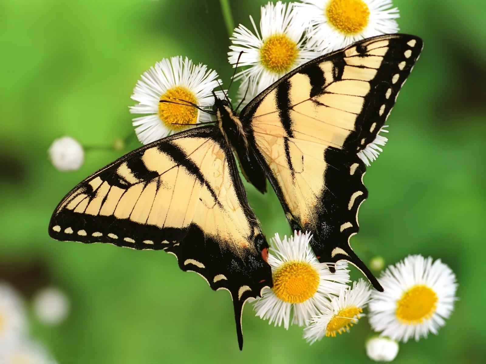 GADGET: HD Butterfly Wallpapers For Desktop