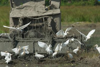 Little, Eastern Cattle and Intermediate Egrets