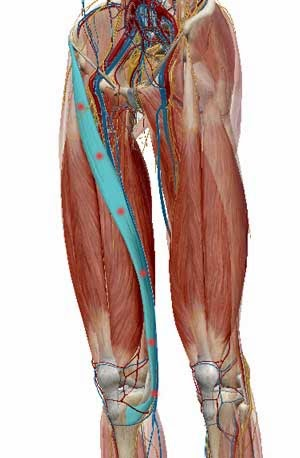the anatomy of thai yoga massage: sartorius muscle, knee pain and, Human Body