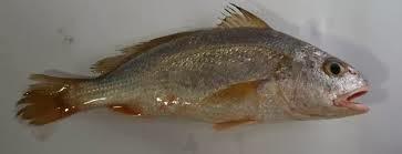 Ikan Gulama