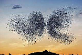 Murmuration, Fenomena Tarian Burung Bermigrasi