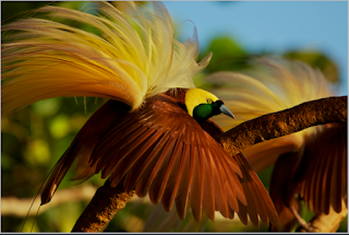 Fauna indonesia bagian timur dan penjelasannya