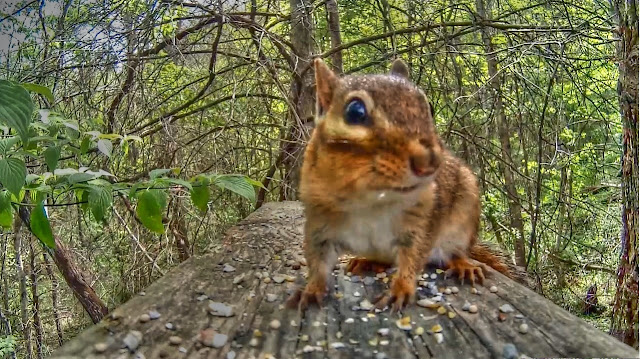 Cute Chipmunk in Forest - entertainment for cats