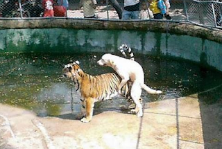 funny picture dog f*cks tiger
