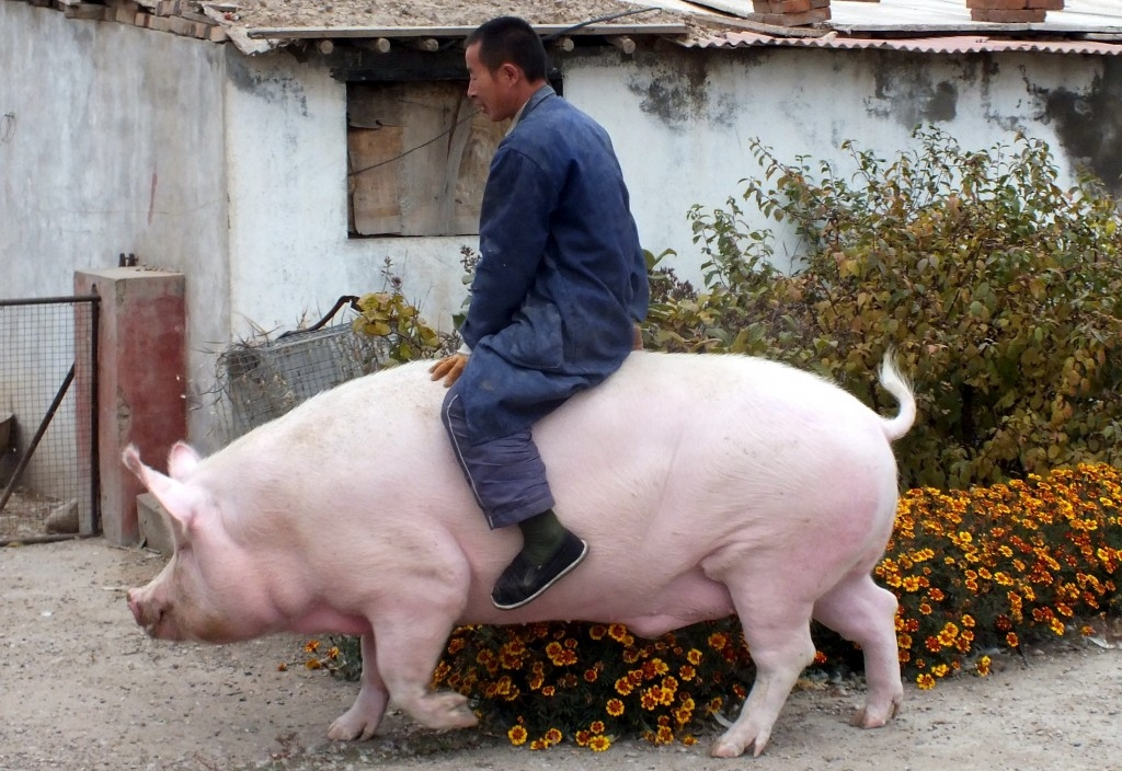 70 Of The Most Touching Photos Taken In 2015 - Farmer Zhang Xianping rides his 1300-pound pig
