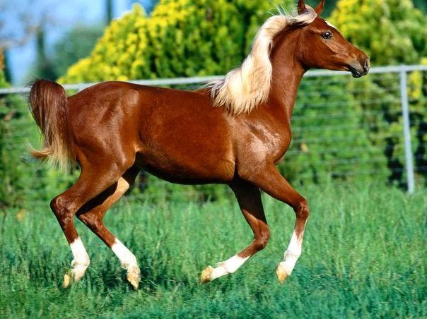 Những con ngựa đẹp phi dáng mạnh mẽ, hinh anh con ngua