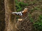 Una puput del Camí del Bosc Encantat