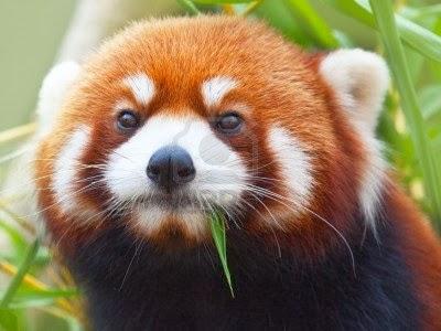 panda rojo firefox os