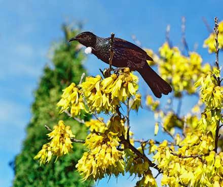 NZ tui in a kowhai tree