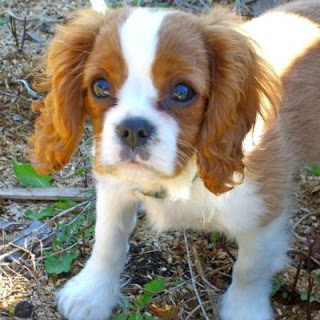 English Toy Spaniel Puppy Picture