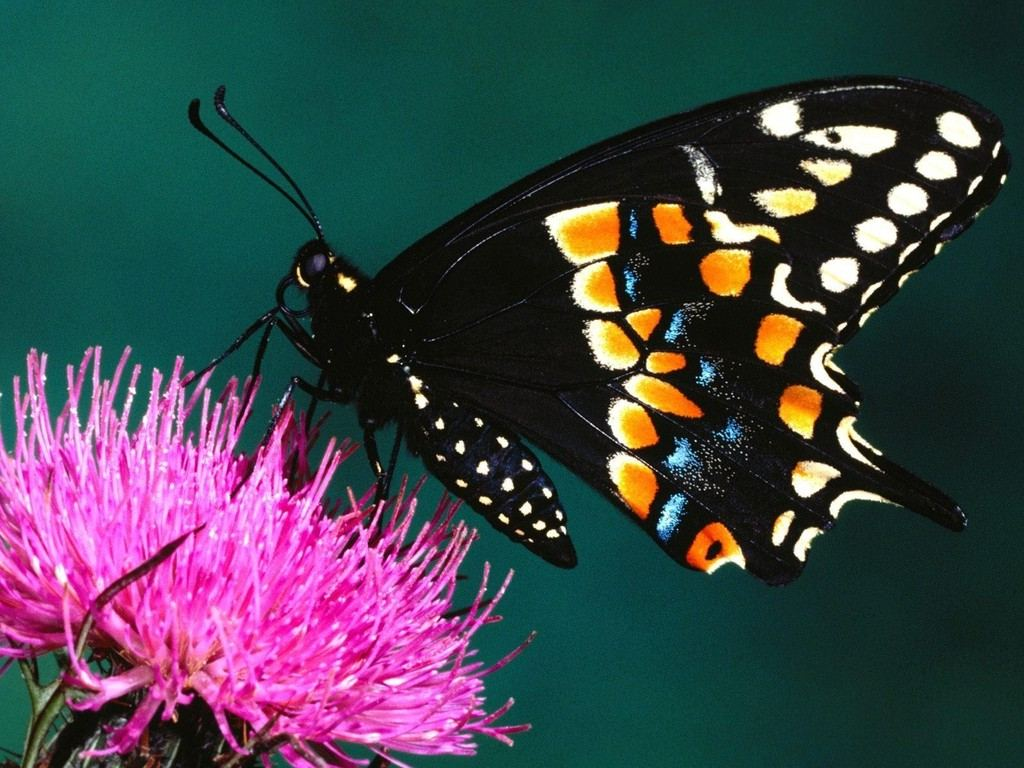 Unique wallpaper exotic butterfly for Butterfly wallpaper