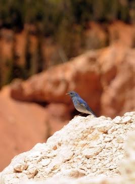 Mountain Bluebird 081