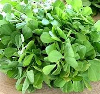 Methi / Fenugreek Plant