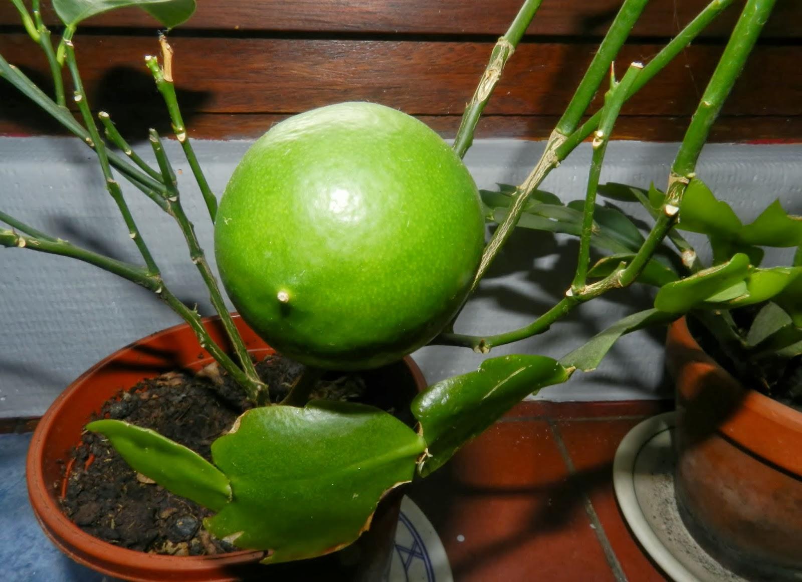 Amoureuse de la nature mon citronnier plus beaucoup de feuilles mais un fruit - Citronnier feuilles jaunes ...