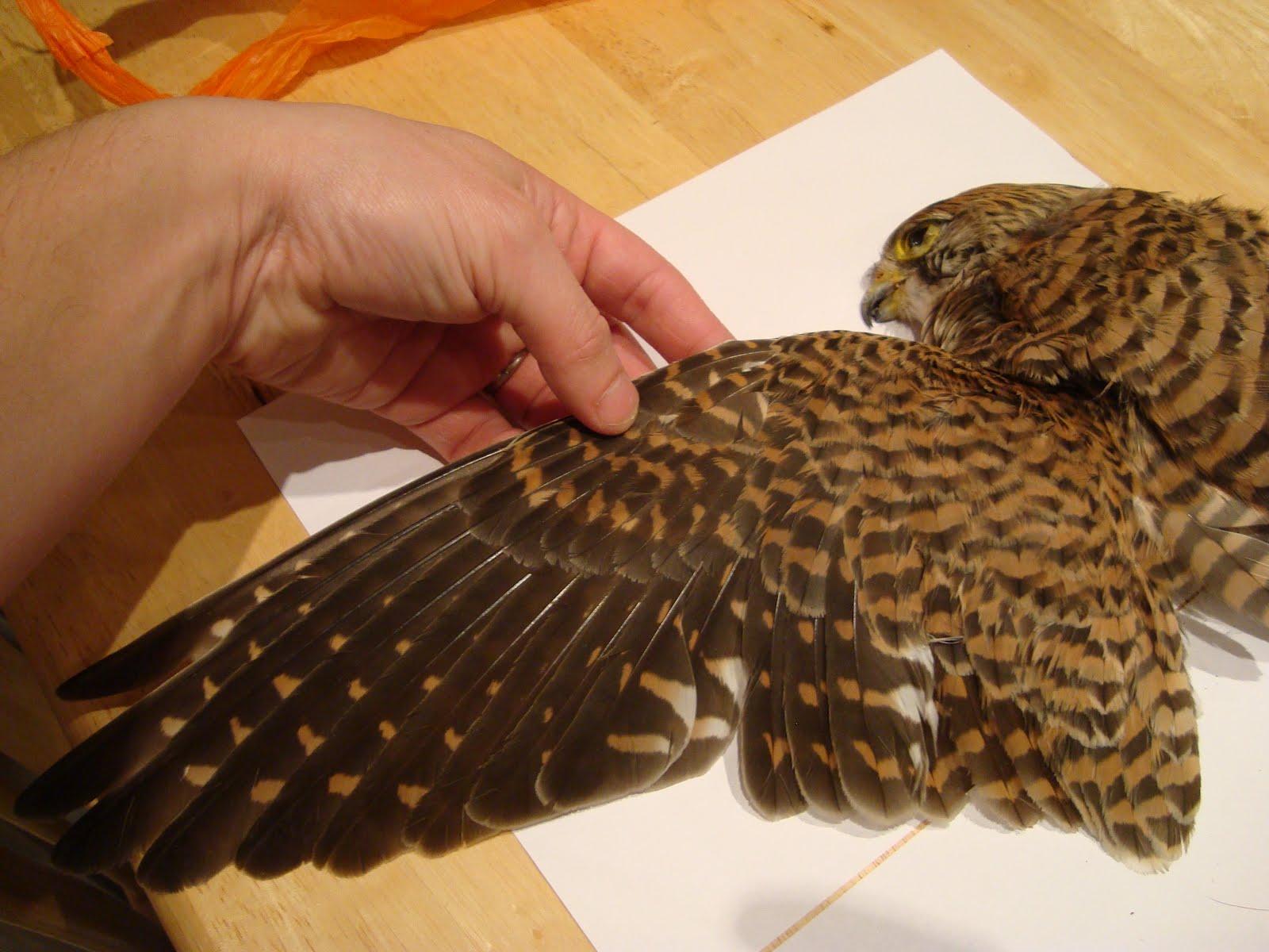 Bird Wings Side View Kestrel - side view