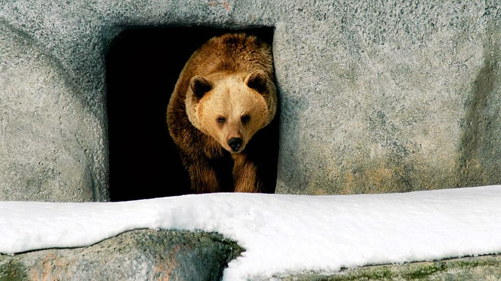 Playful Bears Frolic In Snow After Waking From Hibernation At Helsinki Zoo (VIDEO)