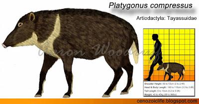 Platygonus