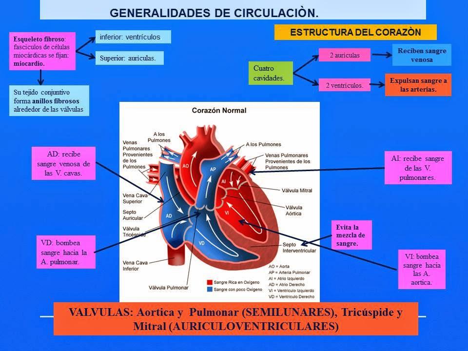 GENERALIDADES DE CORAZÓN.   Blog de Fisiología Médica