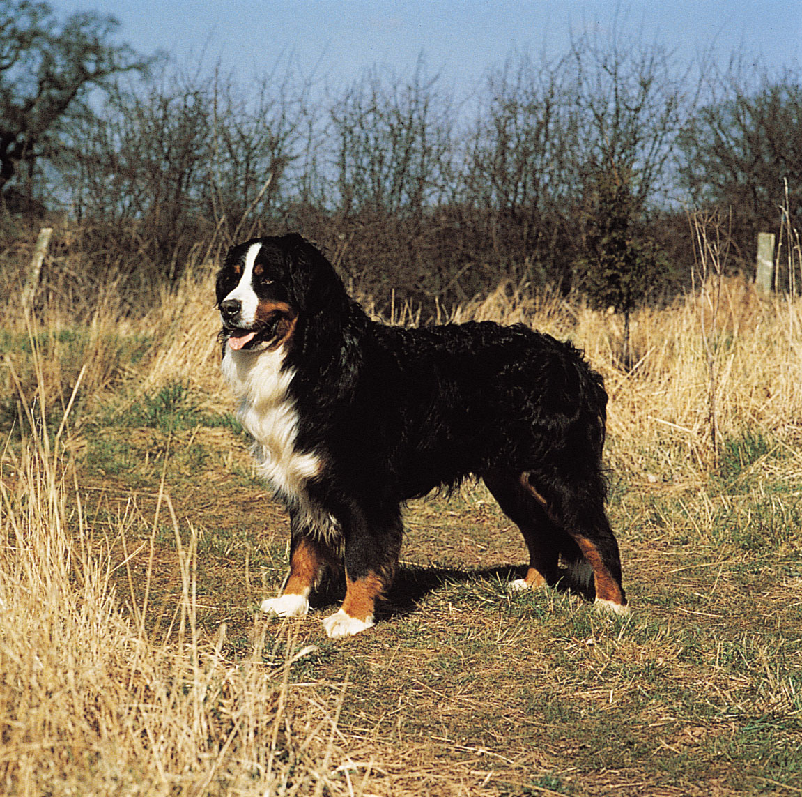 the dog in world bernese mountain dogs