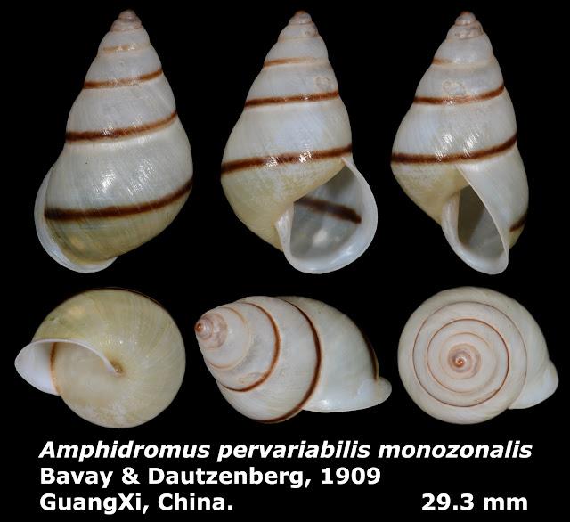 Amphidromus pervariabilis monozonalis 29.3mm